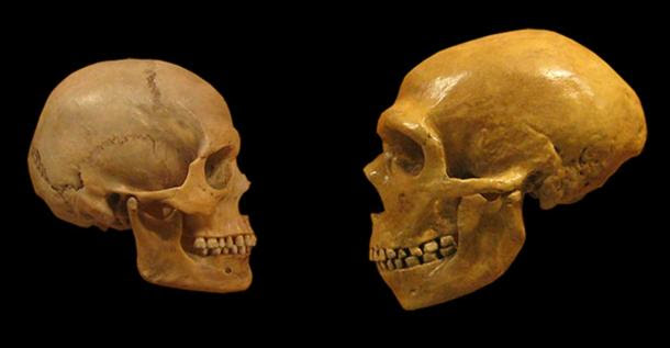 Comparison of Modern Human and Neanderthal skulls from the Cleveland Museum of Natural History.
