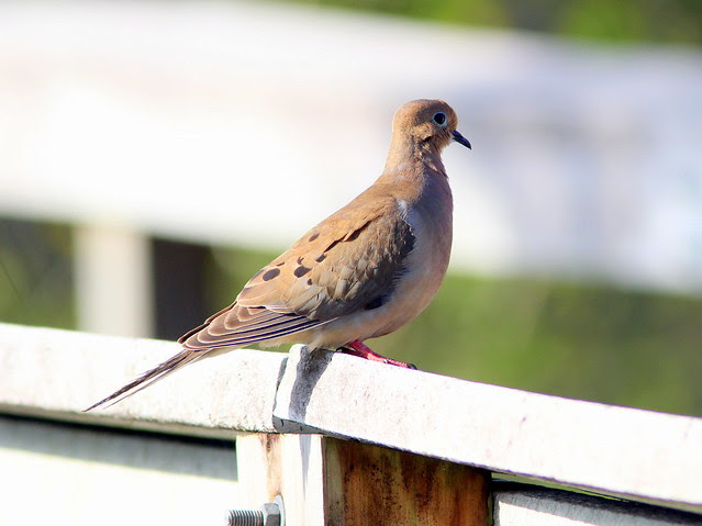 Mourning Dove 20130406