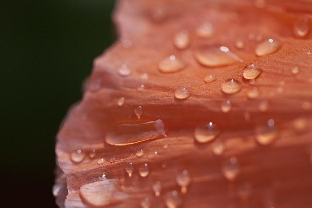 wet poppy