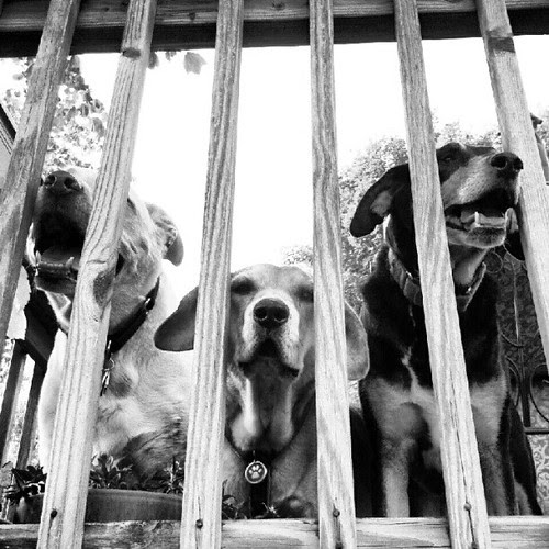 3 of my 4 jail birds! #dogs #deck #happydog #rescue #adoptdontshop #summer #dogstagram #dogsofinstagram #instadog #petstagram #cute