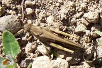 Insecte : criquet