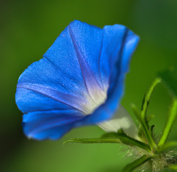 Flowers Images Blue Morning Glory Wallpaper And Background Photos