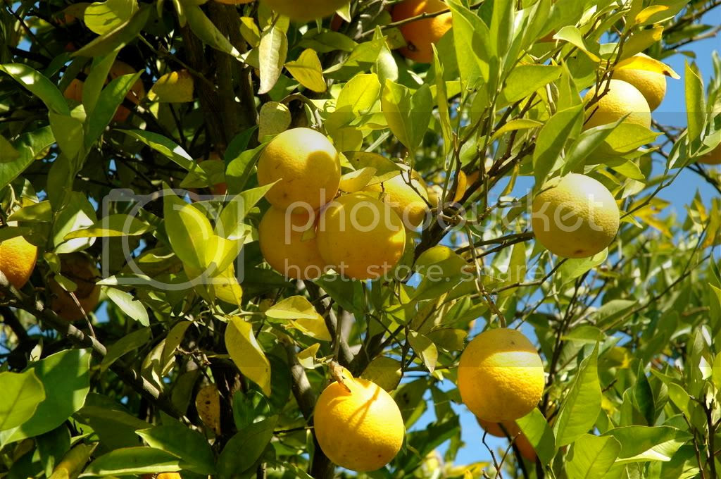 Greek Lemon Tree