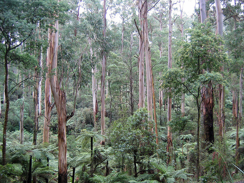 File:Sherbrooke forest Victoria 220rs.jpg