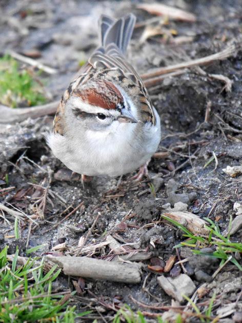Ed Gaillard: birds &emdash; Chipping Sparrow, Central Park