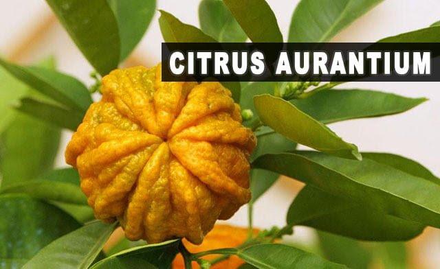 Citrus-aurantium-para-que-serve-emagrece-efeitos-colaterais-dosagem.jpg (640×392)