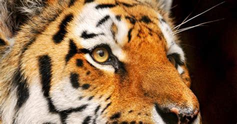 harimau  menaip gambar lucah