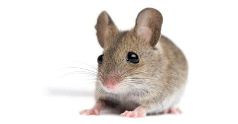 Pest of the Month: The Field Mouse. Making His Way To A Home Near You.