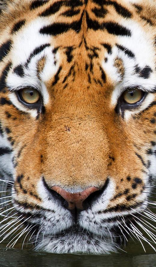 Hd Tiger Wallpaper Hd Iphone 5 Wallpaper Laptop