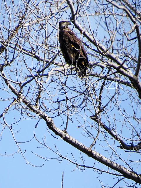 IMG_0545cps Juvenile Bald Eagle