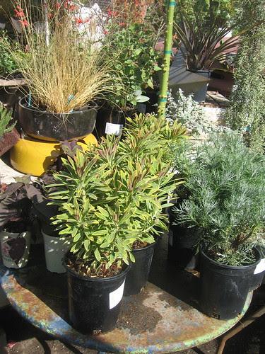Euphorbia and native grasses