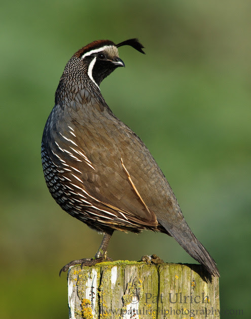 Photograph of a male California quail on a fencepost in Point Reyes