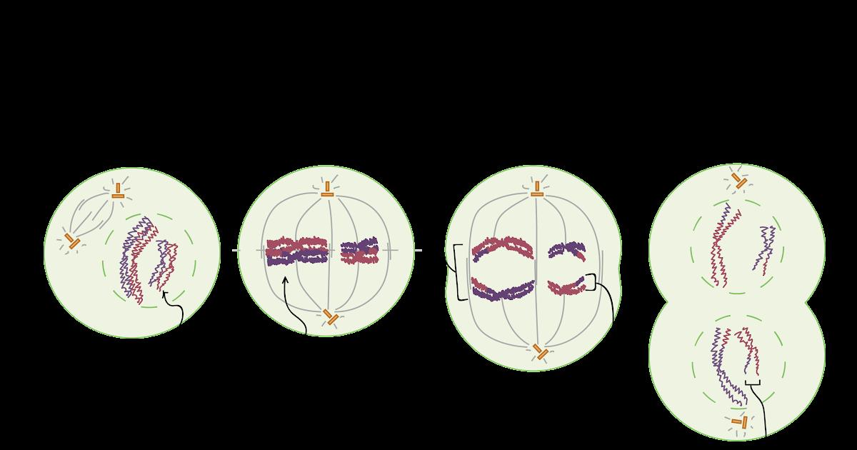 Phases Of Meiosis Worksheet Answer Key / Bioexcel 190 ...