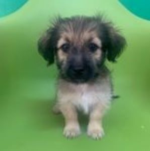 Bria – 2 month old female Cross-Breed