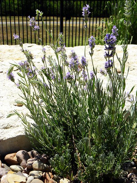 DSCN4162 Lavender