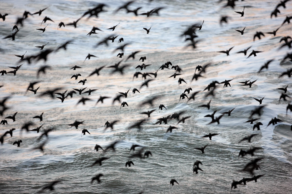 Starlings over English Channel