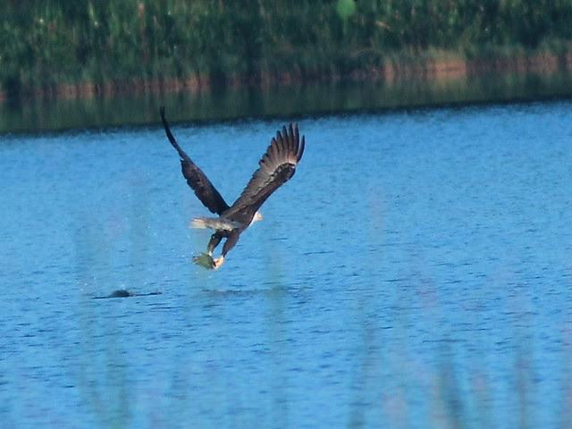 Bald Eagle 0739-26 AM 20121010