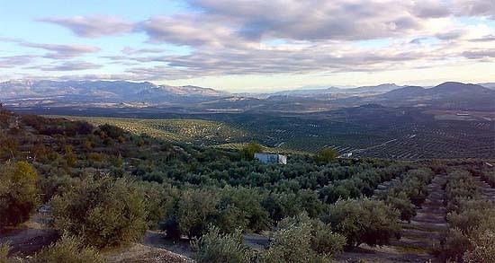 Úbeda, Mar de olivos