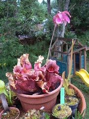 Sarracenia purpurea in bloom