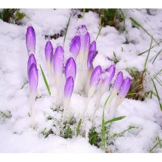 crocus in the snow Poster print