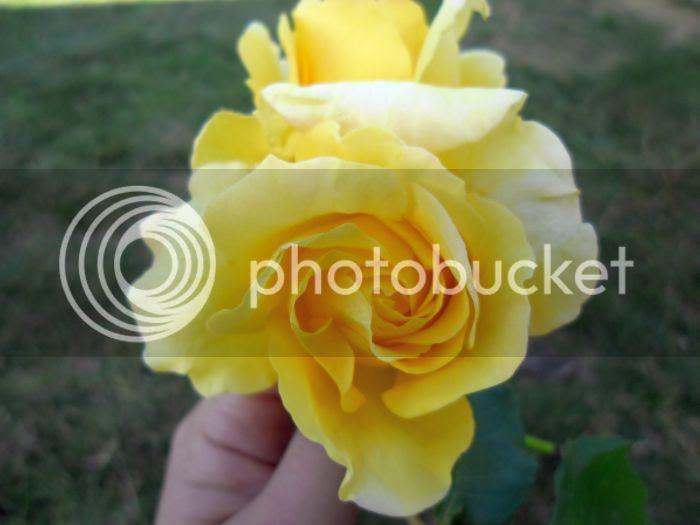 photo roses1_zpsb53d11fa.jpg
