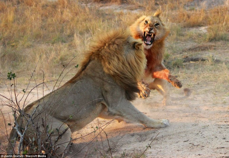 Pounce: The younger male, who is covered in blood and has numerous deep wounds to his chest launches at the older lion