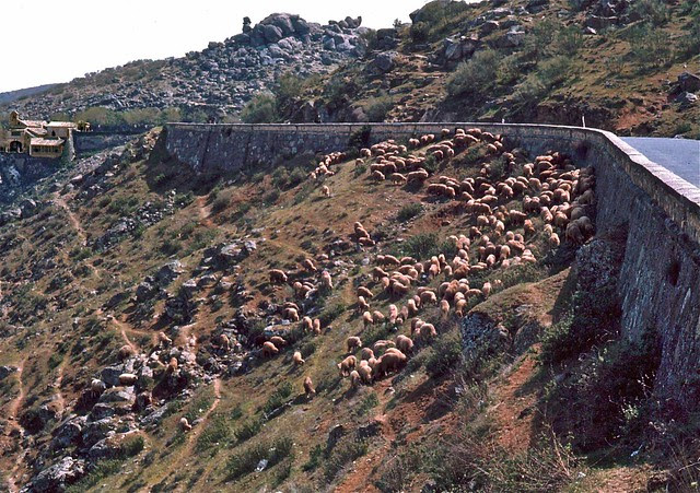 Ovejas junto a la ermita del Valle en Toledo hacia 1967. Fotografía de John Fyfe