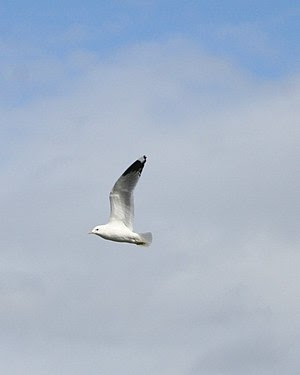 Flying seagull in Norway