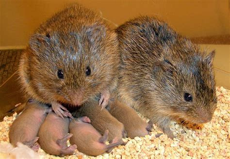 What Can Rodents Tell Us About Why Humans Love?   Science   Smithsonian