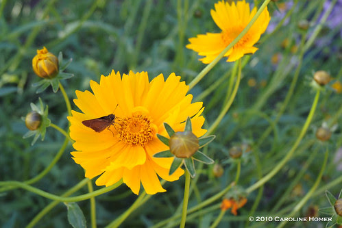 Butterflies on coreopsis