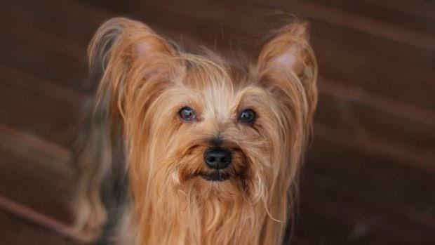 ¿Los perros de pequeño tamaño son más agresivos?