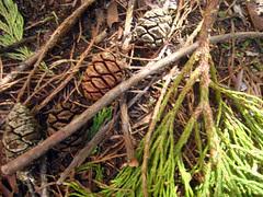 sequoia cone
