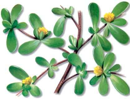 http://www.plantasnet.com/images/plantas/v/verdolaga/verdolaga.jpg