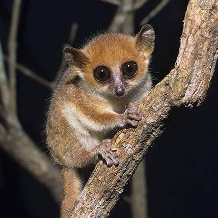 Les activités de conservation des lémuriens par le Groupe d?Etude et de Recherche sur les