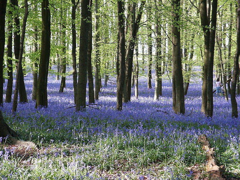 File:Bluebells-2005-05-02-1.jpg