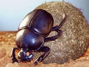 Mangia letame ma in  realtà è un astronomo Lo scarabeo si muove  seguendo le stelle
