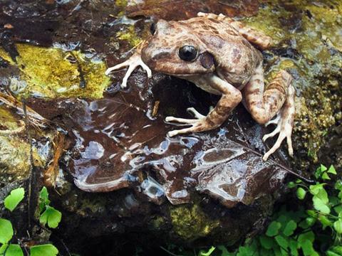 Một con ếch sủa đực ngồi gần trứng của