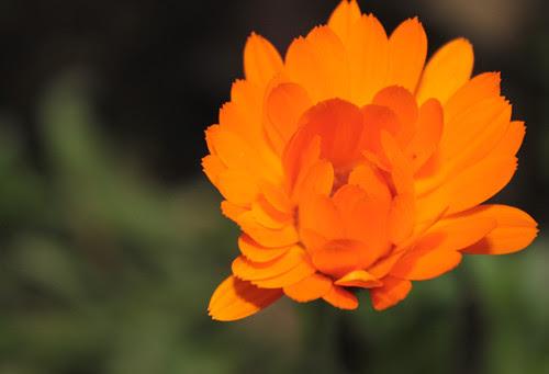 Calendula opening