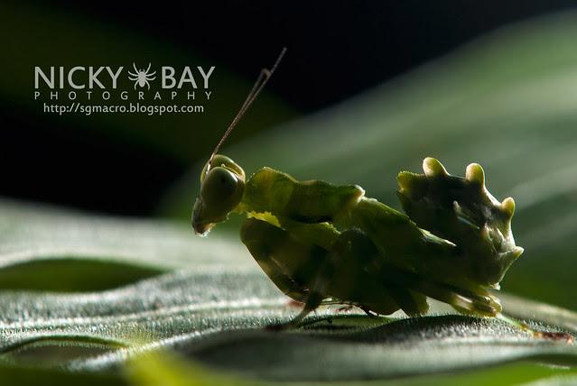 Banded Flower Mantis (Theopropus elegans) - DSC_3566