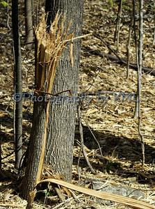 a shredded tree int he woods