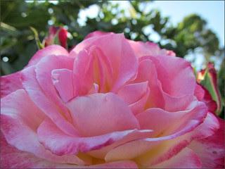Full blown pink rose