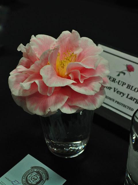 Camellia 'Elegant Beauty'