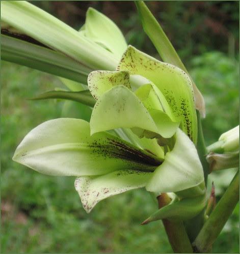 06 lily big smile