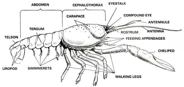 crayfish_exrternal_with_labels