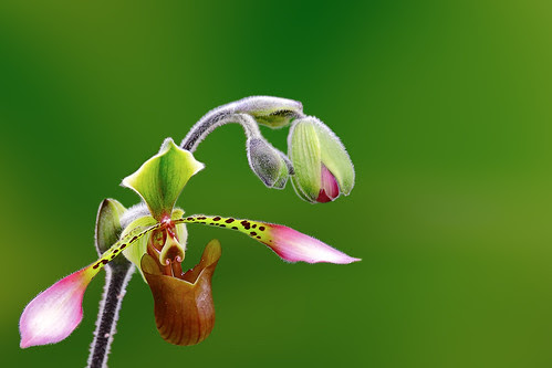 Lady's Slipper Orchid by tropicaLiving - Jessy Eykendorp