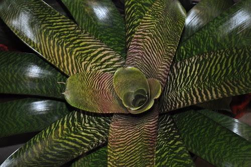 Bromeliad Vriesea Hybrids (2)