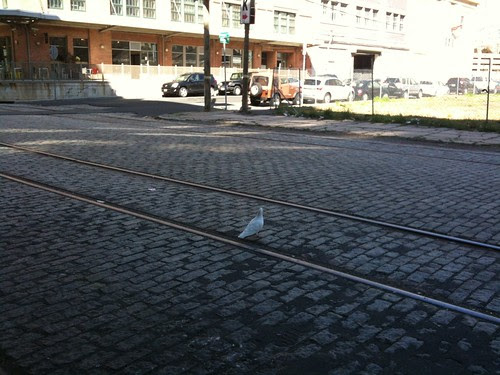 White pigeon, Jersey City