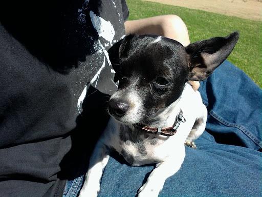 Chihuahua Dachshund Mix Black - Pets Lovers