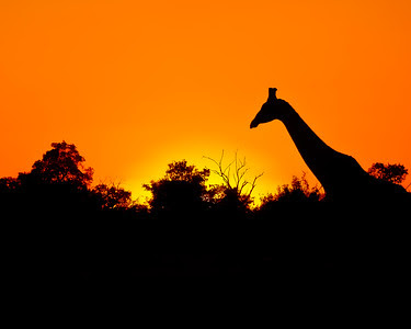 Giraffe at SunsetChobe National Park, Botswana