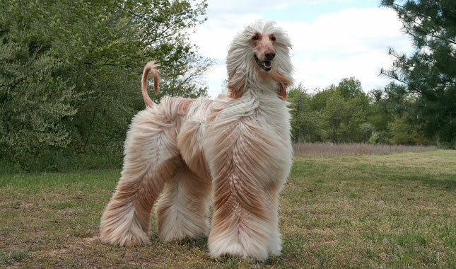 Afghan Hound Breed Guide  Learn about the Afghan Hound.